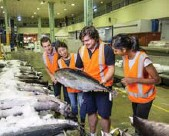 ?? JAMES HORAN/SYDNEY FISH MARKET ?? Market guide Alex Stollznow shows visitors how to check for high quality, fresh fish.