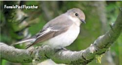 ??  ?? Female Pied Flycatcher