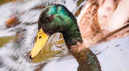 """?? FRANK RUMPENHORST/AFP/GETTY IMAGES ?? One reader's response to annoying duct cleaning calls? """"We have plenty of ducks."""""""