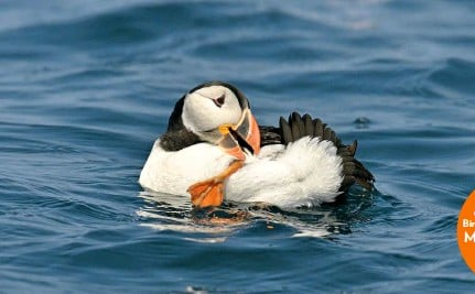 ??  ?? Lundy's Puffins have also been winners in the rat-eradication stakes with a breeding population that is rising steadily year by year