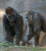 ??  ?? These cases are the first in the world reported among captive great apes.