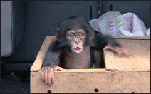 ??  ?? Baby chimps, in demand as pets in wealthy homes or as performers in commercial zoos, are sold for about R170 000 each.