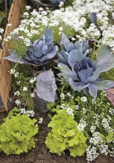 ??  ?? Des fleurs autour des légumes comme les alysses avec les choux, ne font pas que décorer. Les fleurettes attirent les butineurs et servent de relais aux insectes auxiliaires comme les coccinelles.