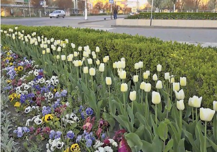 ??  ?? С приходом весны Афипский расцветает.