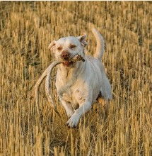 ??  ?? Teaching your gun dog how to find sheds will add months to your hunting season together.