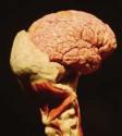 ?? Foto: Alexander Kaya ?? Es bleibt ein Wunderwerk der Natur, das menschliche Gehirn.