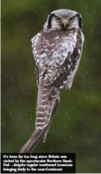 ??  ?? It's been far too long since Britain was visited by the spectacular Northern HawkOwl – despite regular southward invasions bringing birds to the near-Continent.