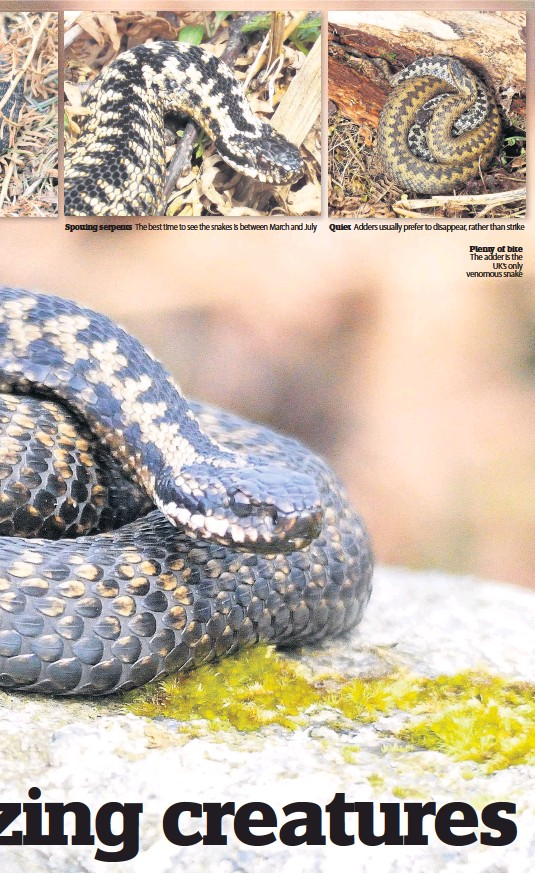 ??  ?? Spotting serpents The best time to see the snakes is between March and July Quiet Adders usually prefer to disappear, rather than strike Plenty of bite The adder is the UK's only venomous snake