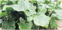 ??  ?? Super Atom is a philodendron with a compact, clumping habit and heart-shaped, crinkly-edged leaves.