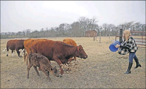 ?? Jae S. Lee/Staff Photographer ?? Mayor Jess Herbst feeds cattle at her 50-acre farm in New Hope. She had been mayor pro tem but was appointed mayor when the incumbent died three days before the 2016 election. Herbst came out in a note that's still on the town website.