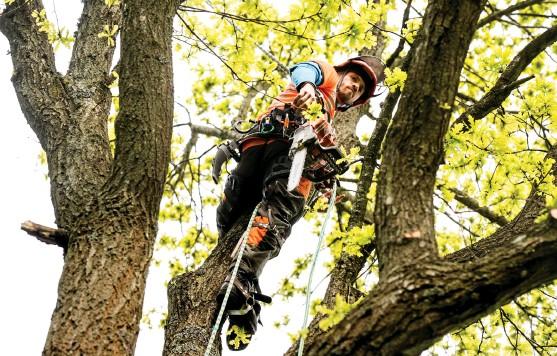 ?? Bild: Håkan Johansson ?? Ett vanligt uppdrag för Djupdahls Skog & Trädgård är att plocka ner större träd i privatpersoners trädgårdar, som här i Tvååker.