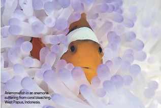 ??  ?? Anemone­fish in an anemone suf­fer­ing from coral bleach­ing. West Pa­pua, In­done­sia.