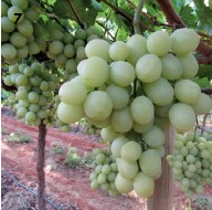 ?? PHOTOS: GLENNEIS KRIEL ?? 7: Autumn Crisp bunches do not require thinning byhand when produced under netting.
