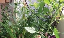 ??  ?? Bohnen ranken schnell und sorgen damit für rasches Grün.