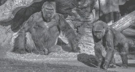 ?? AP ?? Go­ril­las lounge at the San Diego Zoo Sa­fari Park in Es­con­dido on Sun­day.