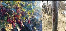 ?? Photo credit Don Graham, Wikimedia ?? Chokecherry bushes are toxic plants for livestock.