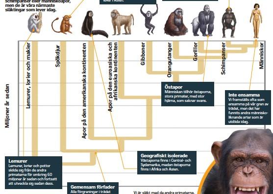 ??  ?? Vi är släkt med de andra primaterna, men härstammar inte från dem.