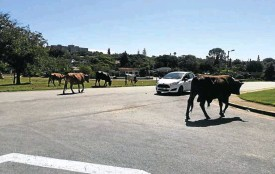 ??  ?? Herd immunity takes on a new meaning as unfenced cattle in the Eastern Cape spread disease.