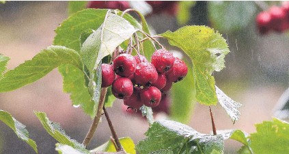 ?? PHOTO: GREGOR RICHARDSON ?? Crataegus jackii, which has thorns that could puncture a tyre, in fruit.