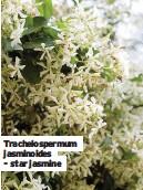 ??  ?? Trachelospermum jasminoides - star jasmine