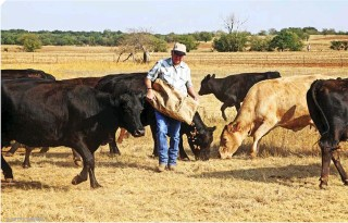 """?? © GETTY IMAGES ?? Left: This rancher is supplementing his herd's feed during a drought that has no end in sight. Cattle in these conditions will produce less meat than normal, and the rancher may need to reduce the size of his herd until """"normal"""" weather returns."""