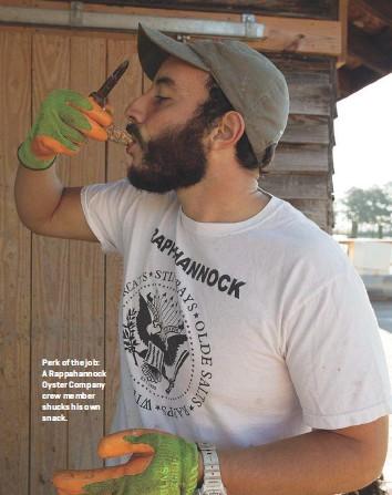 ??  ?? Perk of the job: A Rappahannock Oyster Company crew member shucks his own snack.