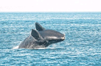 ?? NICK HAWKINS • CONTRIBUTED ?? A North Atlantic right whale breaches in the Bay of Fundy.