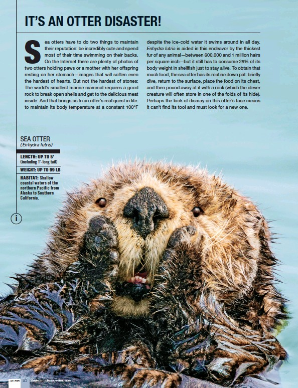 ??  ?? LENGTH: UP TO 5' (including 1'-long tail) WEIGHT: UP TO 99 LB HABITAT: Shallow coastal waters of the northern Pacific from Alaska to Southern California. SEA OTTER (Enhydra lutris)