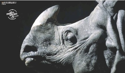 ??  ?? WWF PRIORITY SPECIES|RHINOCEROS 48 | Illegal trade in rhino horn is a continuing problem, posing one of the greatest threats to rhinos today