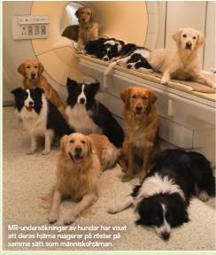 ??  ?? MR-undersökningar av hundar har visat att deras hjärna reagerar på röster på samma sätt som människohjärnan.