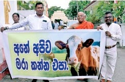 ?? PIC BY NIMALSIRI EDIRISINGHE ?? The 'Pavidihanda' Organisation headed by Ven. Muruththettuwe Ananda Thera launched a march towards the statue of Srimath Anagarika Dharmapala on September 18. The march was organised in support of the government 's decision to ban cattle slaughter. Cattle were paraded in a bid to convince people on the gravity of slaughtering cattle.