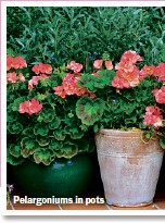??  ?? Pelargoniums in pots