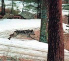 ?? DOUG PIZAC/AP FILE ?? Wolves in Idaho are said to be costing agricultur­e producers and hunters by attacking cattle, sheep and wildlife.