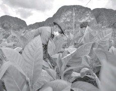 ??  ?? Eduardo Hernandez works in his tobacco farm that has been in his family since 1888.
