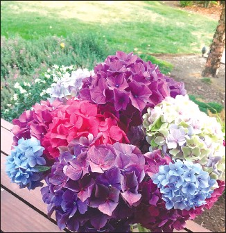 ?? Associated Press photo ?? This lush assortment of freshly cut hydrangeas should continue looking fresh from five to seven days before they begin to wilt. The vase life of cut flowers lasts longer when they're kept in cool areas and are properly nourished.