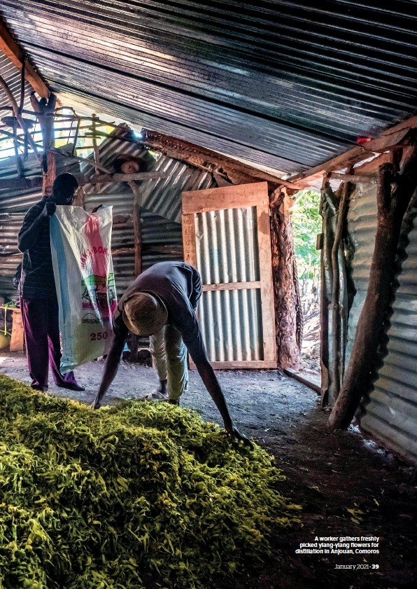 ??  ?? A worker gathers freshly picked ylang-ylang flowers for distillation in Anjouan, Comoros