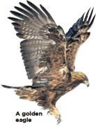 ??  ?? A golden eagle