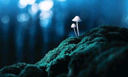 ?? Photograph: Misha Kaminsky/Getty Images ?? 'When taken in high doses, psilocybin [derived from magic mushrooms] profoundly alters the quality of conscious awareness, releasing suppressed memories and feelings.'