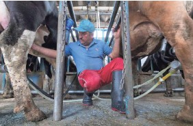 ??  ?? Javier Muñoz Pérez milks two of his 160 cows in Tizayuca, Mexico. Mexico is the largest buyer of U.S. dairy products.