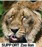 ??  ?? SUPPORT Zoo lion
