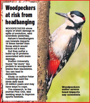 ?? Picture: TIM ORAM / GETTY ?? Woodpeckers suffer severe head impacts say scientists