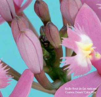 ??  ?? Botão floral do Epi. radicans Cosmos Dream 'Color Pink'