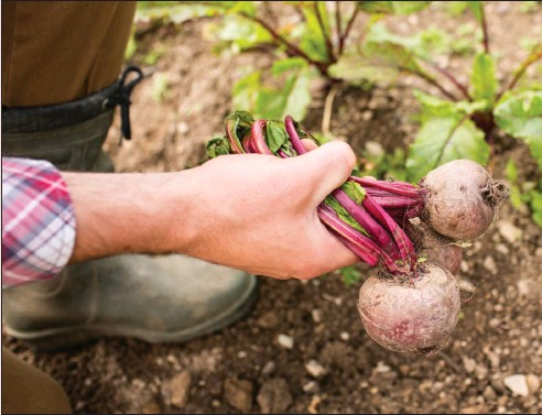 ??  ?? Beetroots need little space, are speedy growers and can often be decorative
