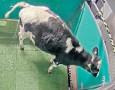 ??  ?? Lavatory training as a cow uses a latrine