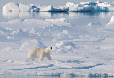 ?? JONATHAN HAYWARD/THE CANADIAN PRESS ?? A polar bear stands on an ice floe in Baffin Bay. Arctic ice is melting faster and earlier this year.