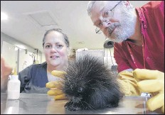 ?? CONTRIBUTED ?? Murdo Messer is shown with his late wife Helene Van Doninck at the Cobequid Wildlife Rehabilitation Centre in Hilden. The couple founded the centre and shared a particular affection for porcupines.