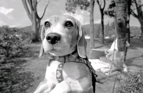 ??  ?? LUNA, a beagle, is tied to a tree near hermakeshift house at an evacuee center.
