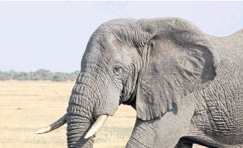 ??  ?? ENDANGERED: An elephant in Serengeti National Park, where numbers have fallen dramatically.