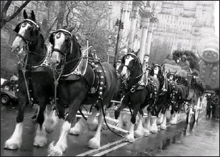 """?? ANHEUSER-BUSCH ?? The iconic Budweiser Clydesdales, shown here at the Macy's Thanksgiving Day Parade, may be at risk if a takeover bid by Belgian brewer InBev, is successful. InBev has said it will sell """"non-core"""" assets."""