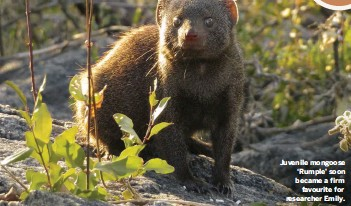 ??  ?? Juvenile mongoose 'Rumple' soon became a firm favourite for researcher Emily.